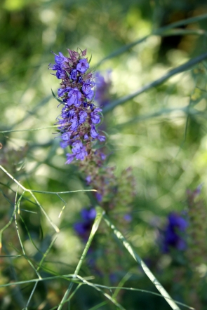 Blue Hyssop (Hyssopus officinalis)