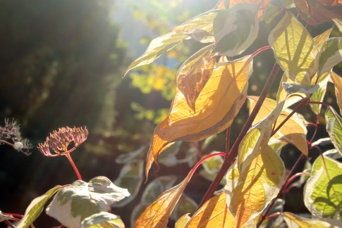 October sun through blood-red twigged Dogwood (Cornus alba)