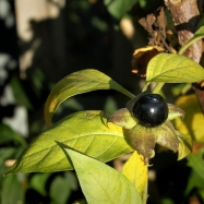 Black poisonous fruit of Deadly Nightshade (Atropa belladonna)