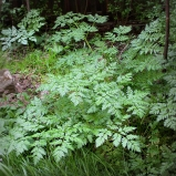 The Poison Hemlock seems to like the moist place in full shade.