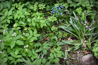 Ground Elder, Sweet Woodruff, Forget-me-not and Hyacinths