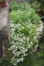 Sweet Woodruff taking over!