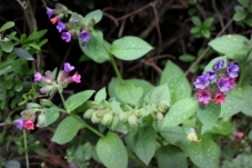 The lovely lungwort with its multi-colored flowers