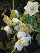 Beloved Hellebore