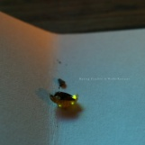 Mating Fireflies, June 2017