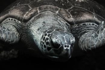 Green Sea Turtle, Stralsund 2013