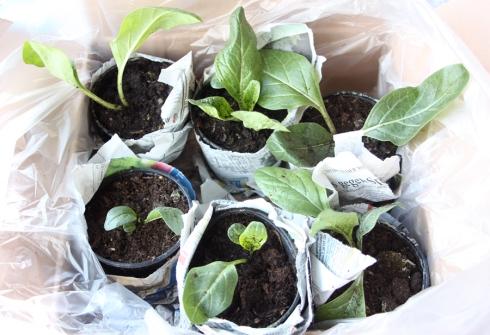 Mandragora officinarum plantlets