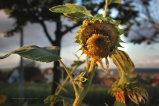 Sunflowers, Aug. 10 2016