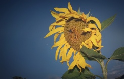 Sunflower, bee and moon, Aug. 10 2016
