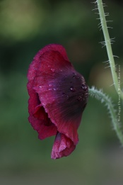 Wet Poppy Flower, June 2017