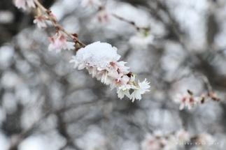Kirschblüte, Feb. 2018