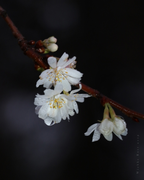 January Cherry Blossoms